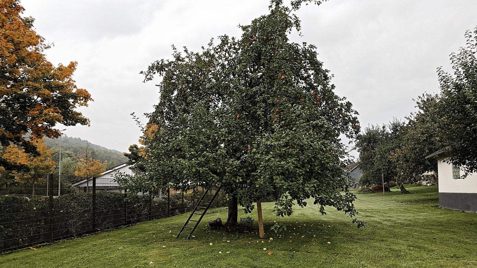Büschergrund - ein Apfelbaum im Herbst